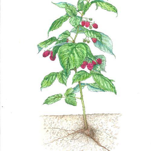 Watercolor art of Raspberry