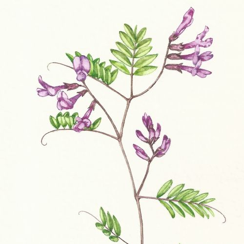Watercolor art of vetch