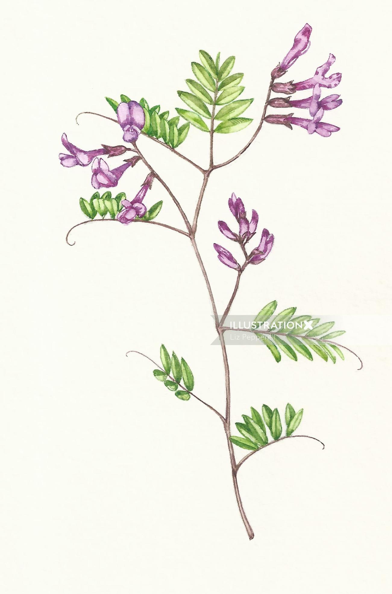 Watercolor art of vetch