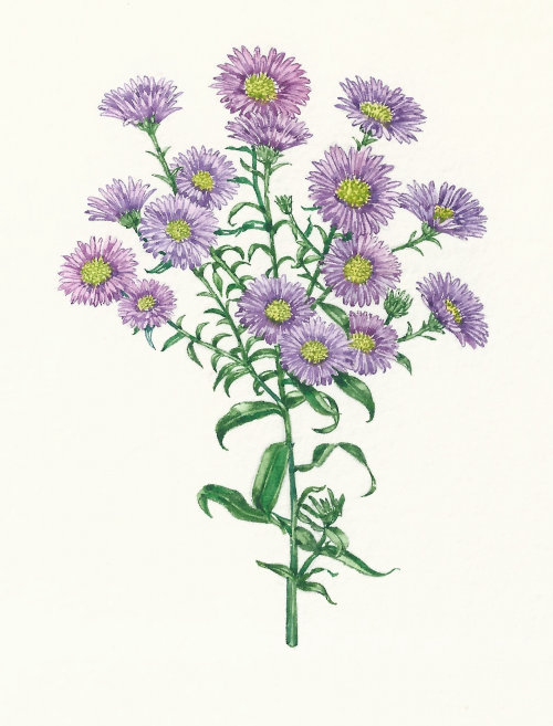Watercolor art of Michaelmas Daisy