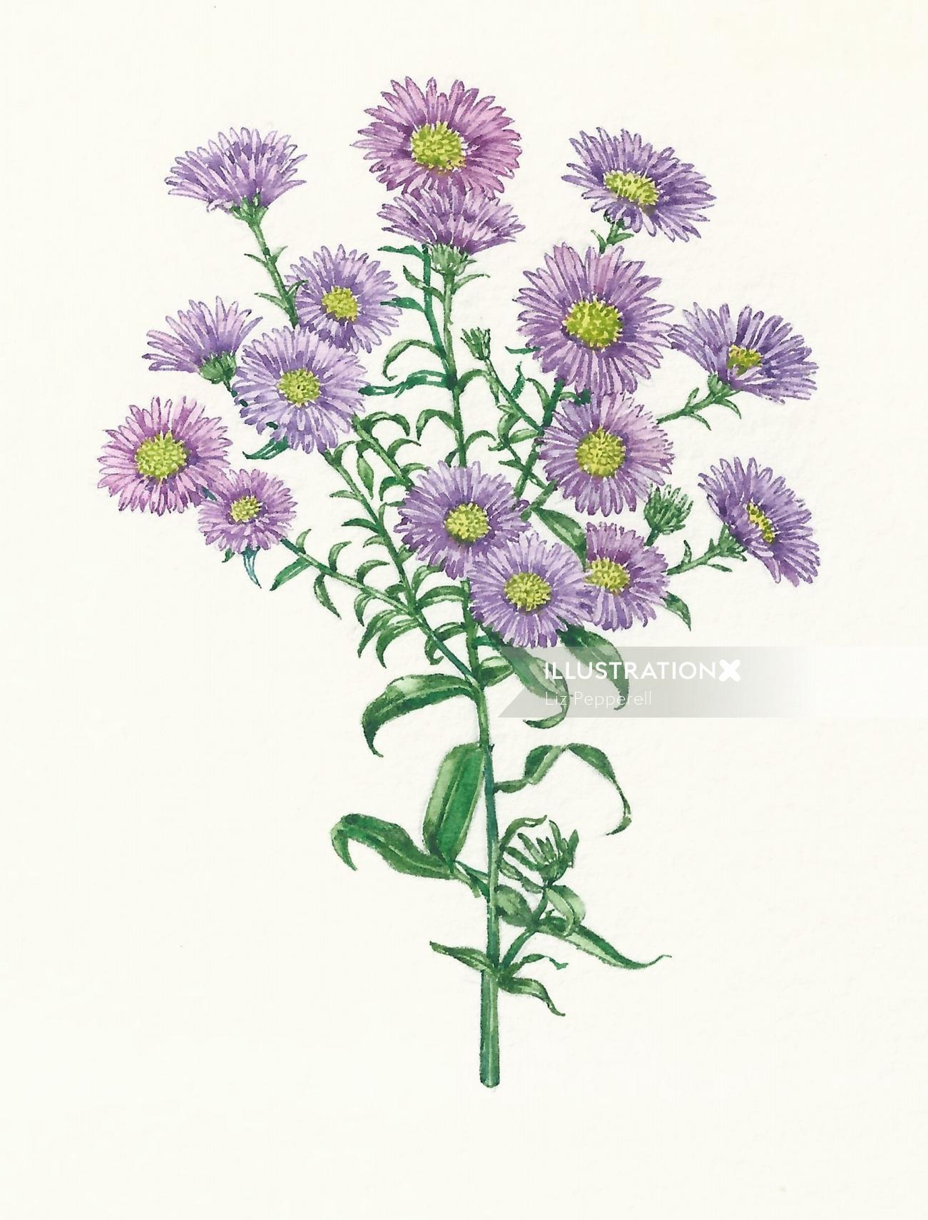 Watercolor art of Michaelmas Daisy