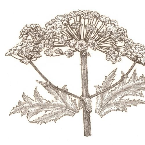 Watercolor art of Hogweed