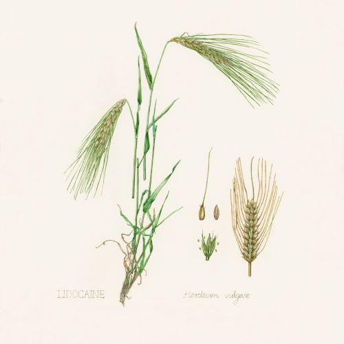 Watercolor art of Barley