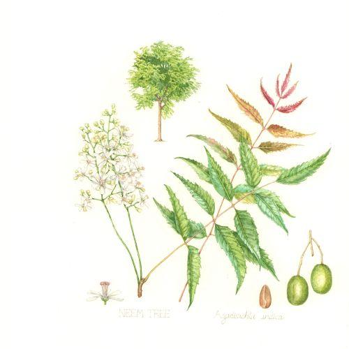 Watercolor art of Neem tree