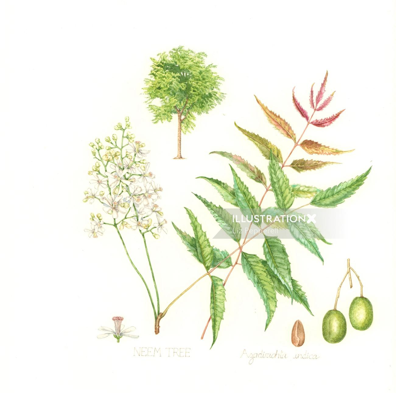 Illustration By Liz Pepperell Neem tree in a 3 gallon container. illustration by liz pepperell