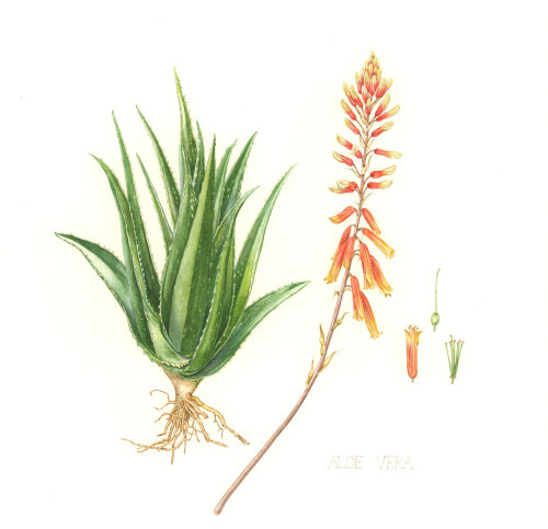 Watercolor art of Aloe Vera