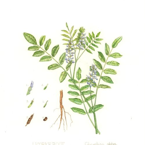 Illustration of Licorice Root