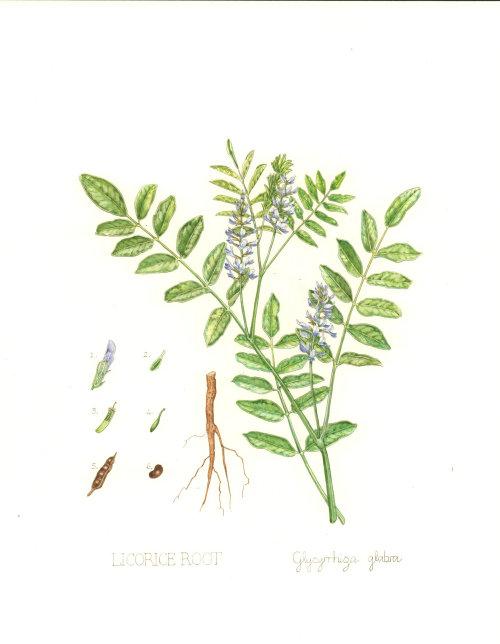Illustration of Licorice Root