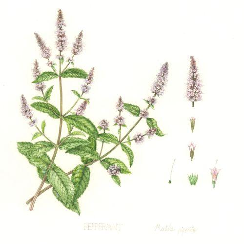 Nature illustration of common hedgenettle plant