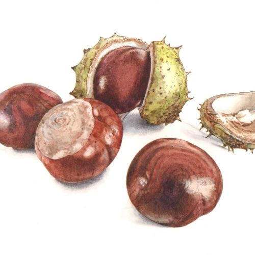 Food illustration of Dwarf Chestnut