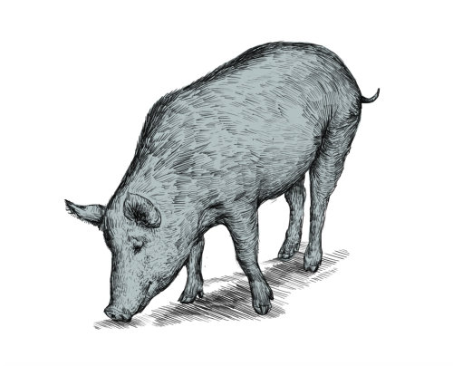 animal illustration of pig