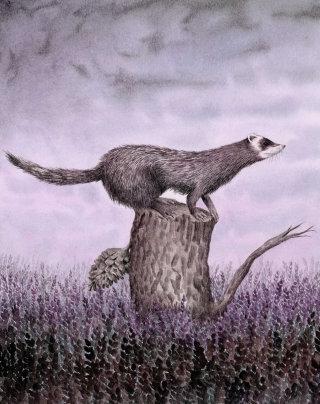 Polecat in tree stump