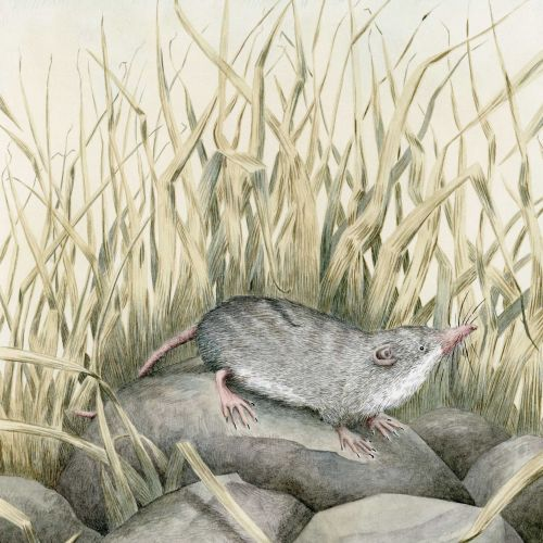 Shrew on rocks for L.S