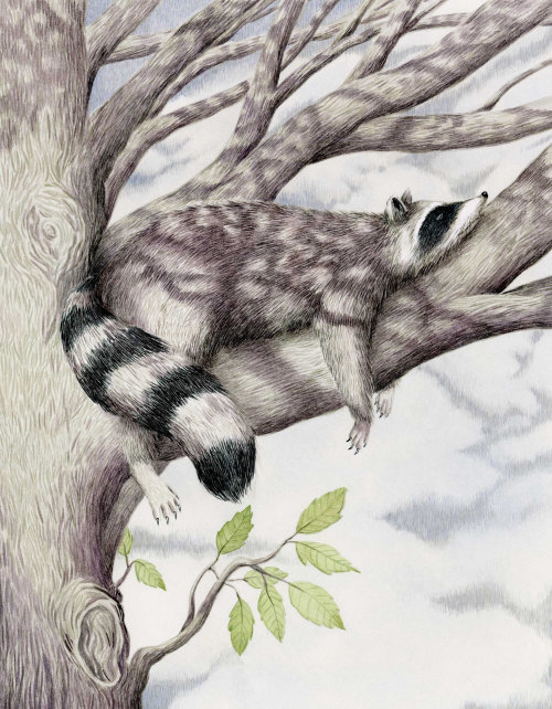 Gouache illustration of Raccoon in a tree.
