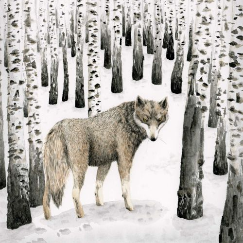 Wolf in birch snow forest.