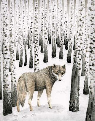 Wolf in birch snow forest.
