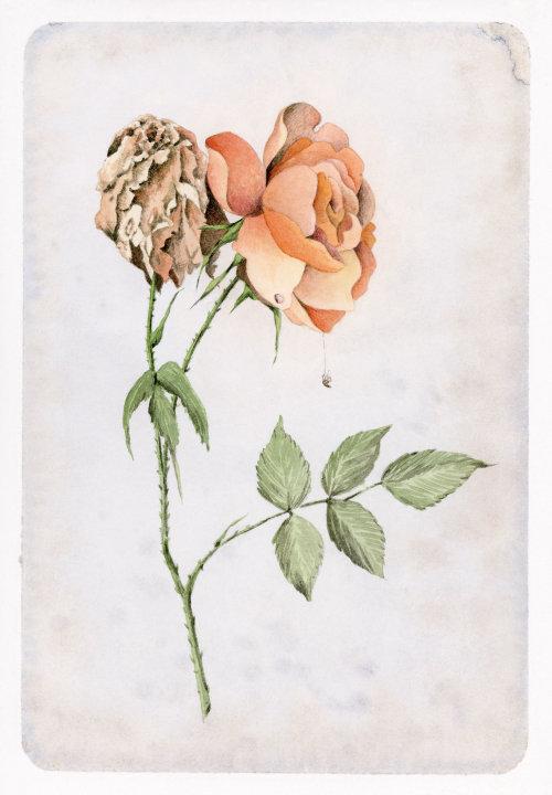 Pintura em aquarela de florescência e uma rosa murcha