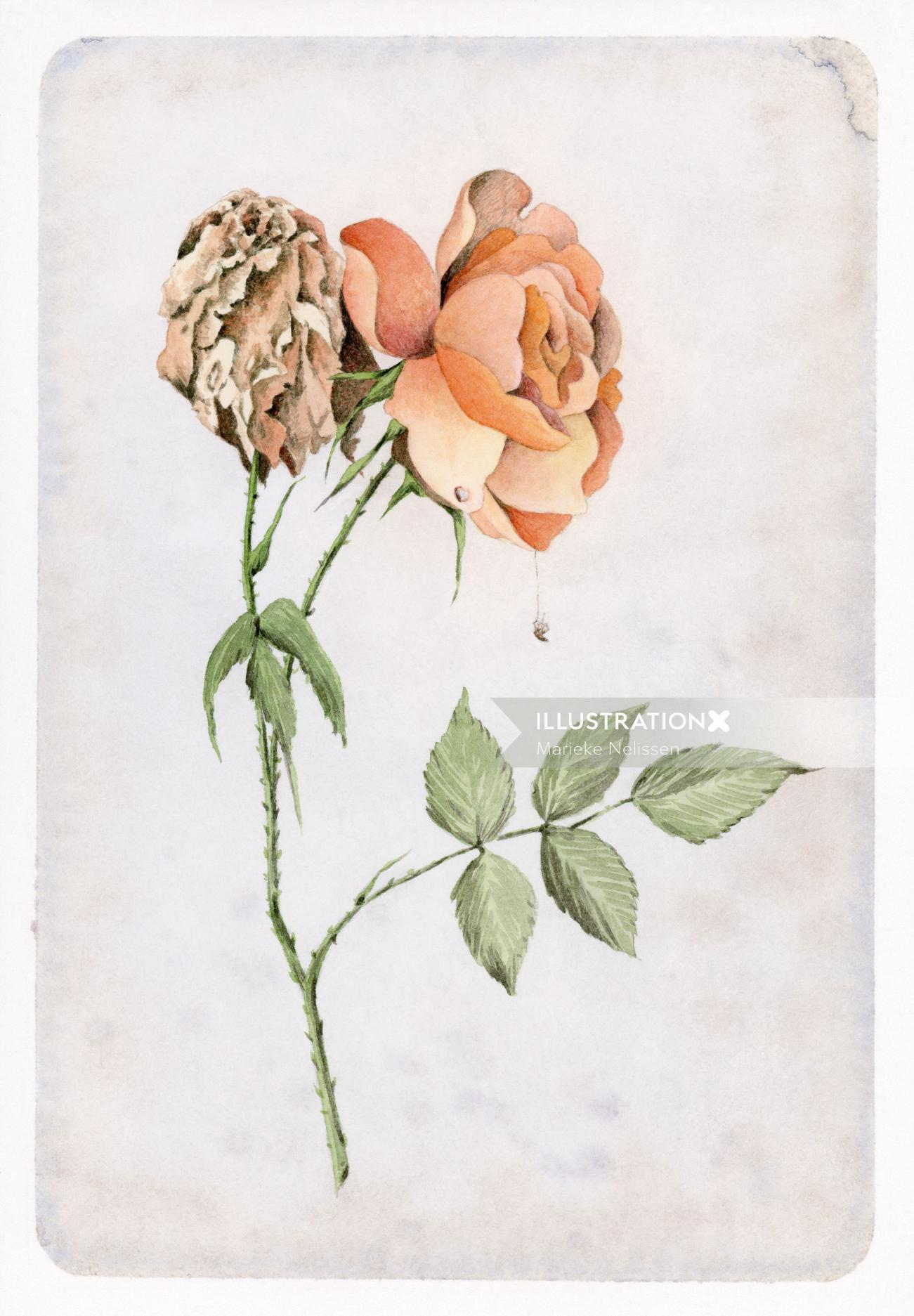 Watercolor painting of blooming and a wilted rose