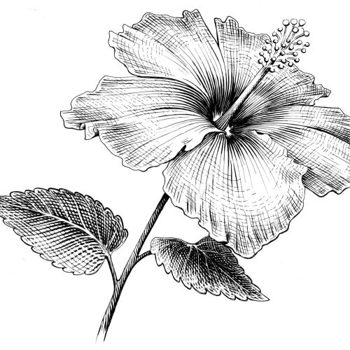 Hibiscus flower black and white art