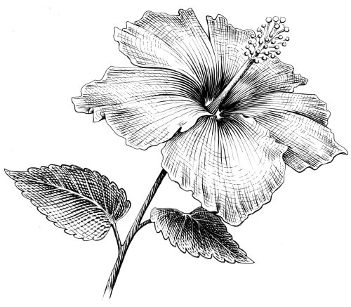 Hibiscus flower black and white art