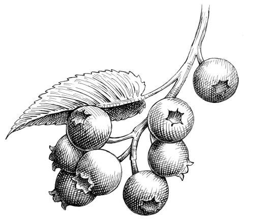 Line art of Huckleberries
