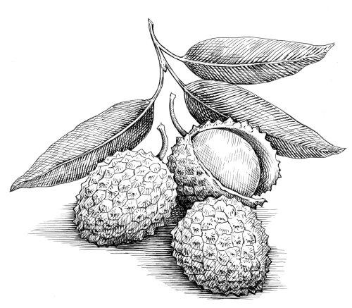 Illustration en noir et blanc de fruits Lychees
