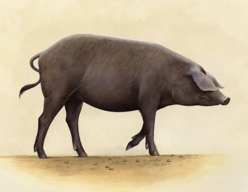 Animaux gros cochon