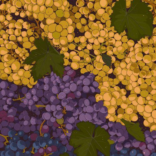 Sangiovese grapes illustration by Mel Baxter