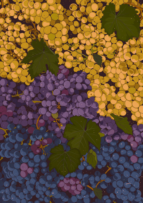 Sangiovese grapes illustration by Mel Baxter