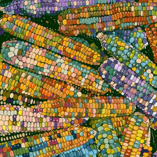 Gem Corn illustration by Mel Baxter