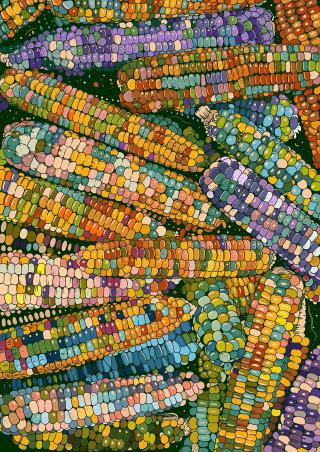Gem Corn illustration by Mel Baxter
