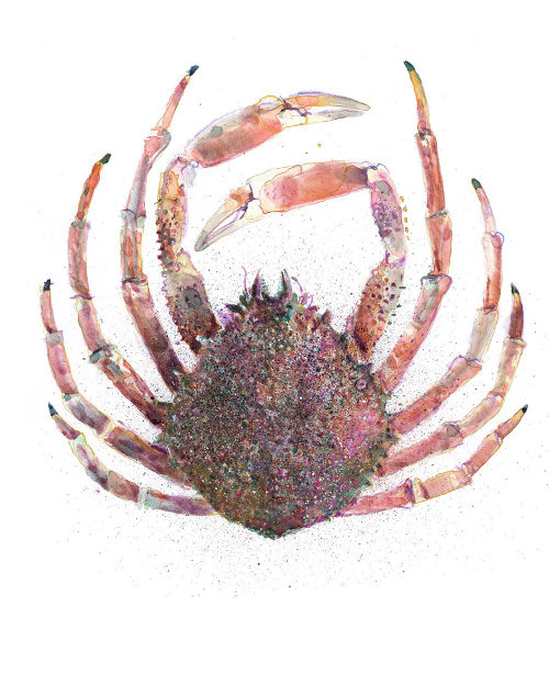 Graphic design of Chesapeake blue crab