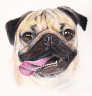 Pug with tongue out