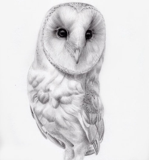 Pencil Drawing Of Barn Owl