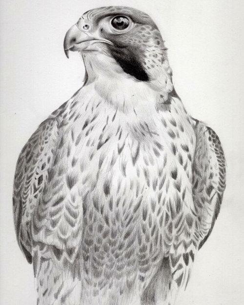 Peregrine falcon study