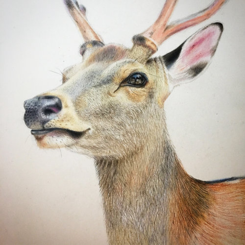 Colour pencil drawing of a deer