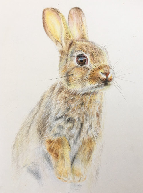 Rabbit study