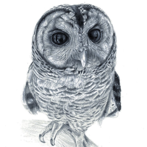 Chaco Owl illustration black and white