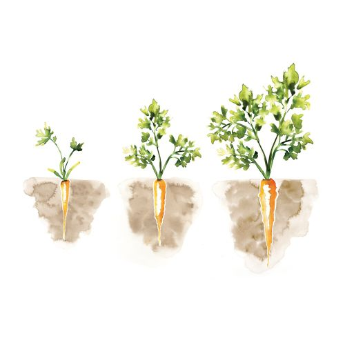 watercolor graphic carrots growing