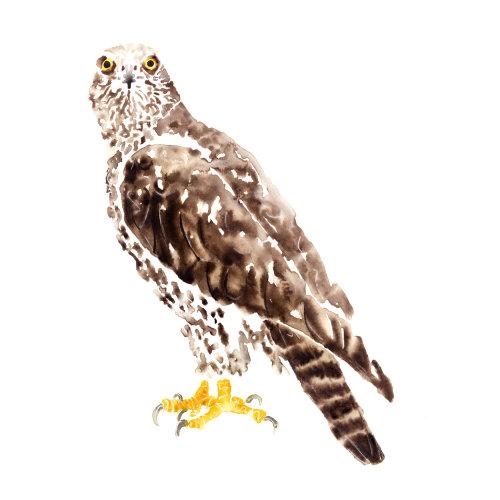 Watercolour of Hawk