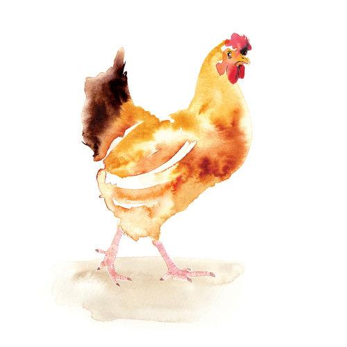 母鸡水彩插图