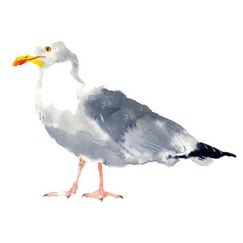 西方海鸥的水彩插图