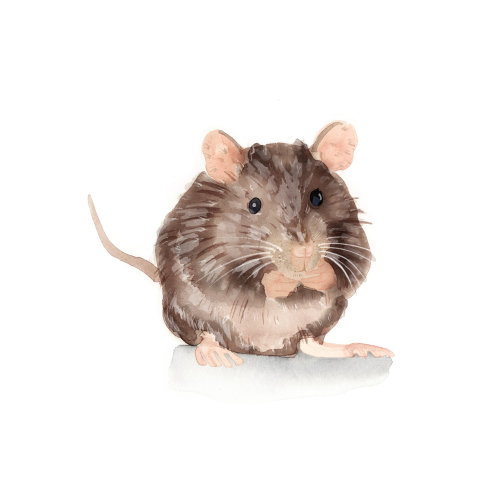 棕鼠水彩画