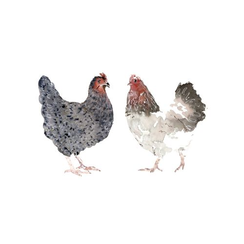 Chickens facing each other