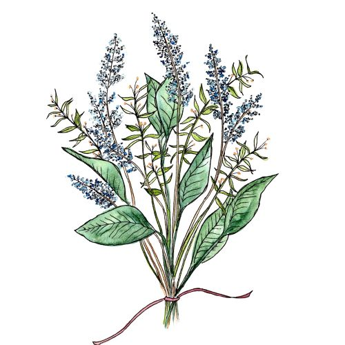 Water Forget-Me-Not plant line drawing