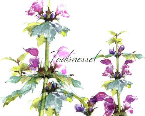 Rosa glauca plantas ilustración acuarela
