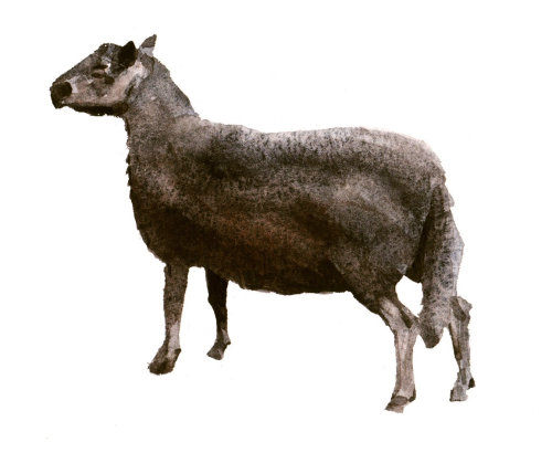Black welsh mountain sheep art