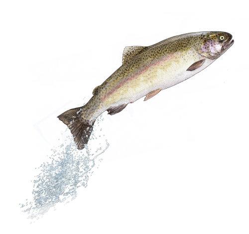 Graphic design of diving fish