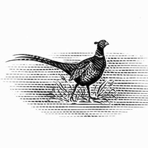 Peafowl line art illustration