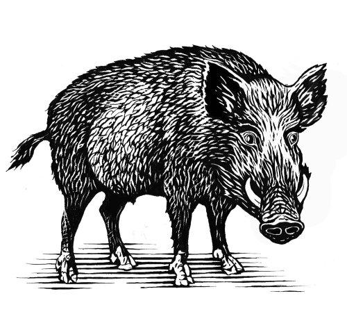 Wild Boar Graphic art
